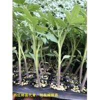 濟寧西紅柿苗 越夏西紅柿種苗廠
