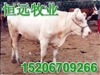 尔牛育肥小公牛波尔山羊鲁西黄牛肉牛肉羊山东恒远牧业养殖基地自