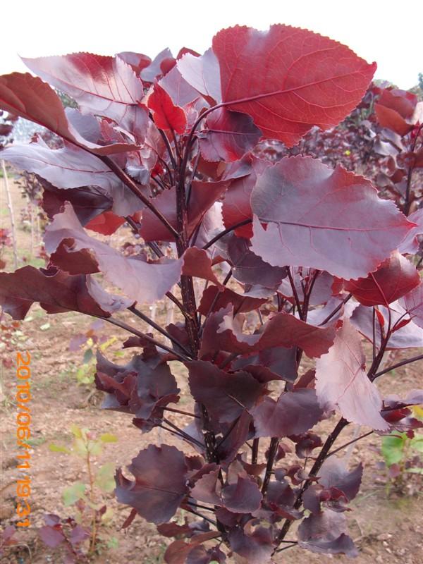 杨树蘑菇有吗图片 杨树蘑菇图片,杨树林里的蘑菇图片 图片 147k 600x800