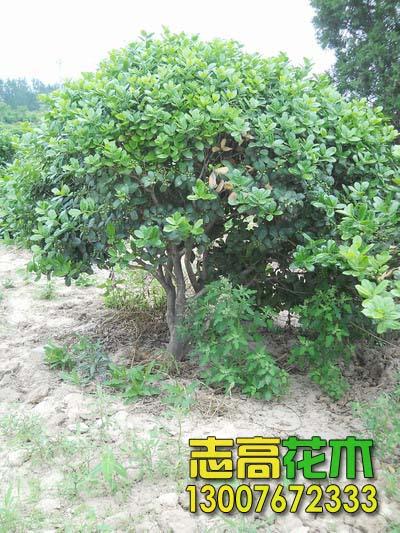 2应按常绿树种,落叶树种分别选择在冬季,春季移植为好,因为这期间
