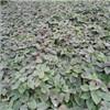 山东红薯苗供应基地地址