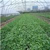 供应各类品种红薯苗