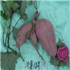 山东红薯苗供应