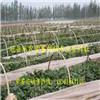 山东红薯苗种植技术